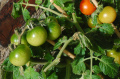 Best Time To Plant Your Tomatoes